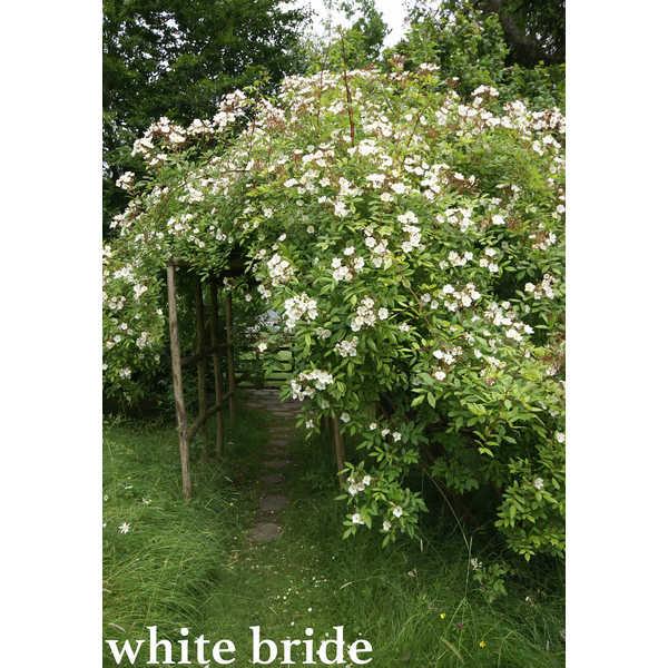 white bride [umbra in luce(師走朔)] ゴーストハント